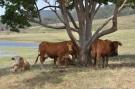 Yabbaloumba cattle
